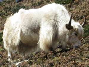 White Yak