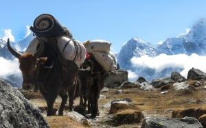 Himalayan traffic