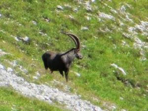 Ibex, at least we believe it's an ibex