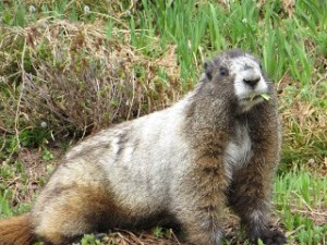 Marmot, the local resident