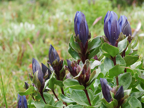 Beautiful mountain gentians