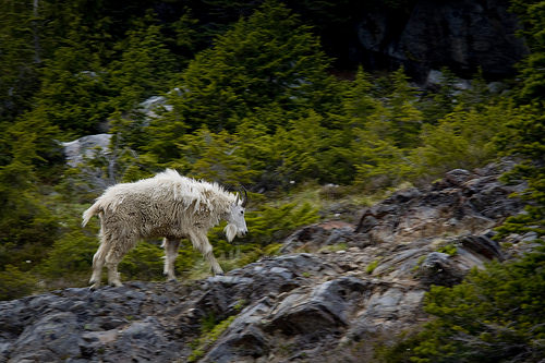 Shaggy mountain goat loosing its winter fur