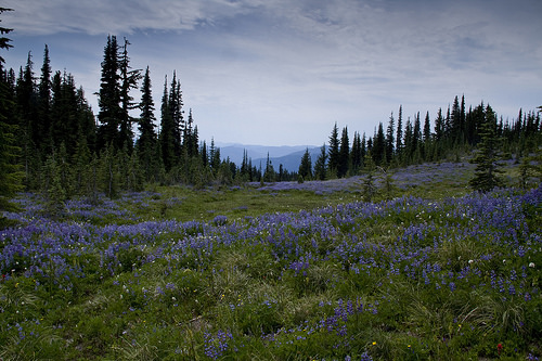 Purple meadows of Snowgrass Flats