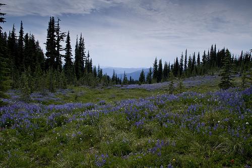 Purple meadows of Snowgrass Flats