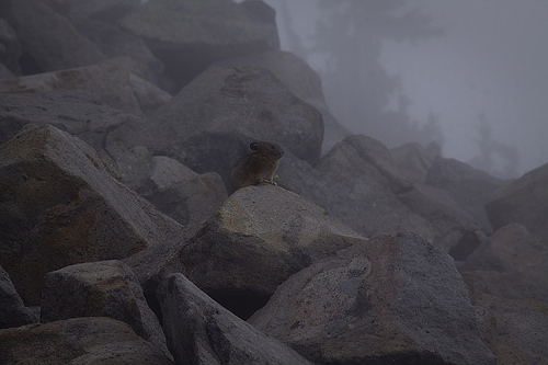 Pikas are usually shy but they can be seen along the trail if you are lucky. Mountain goats are also frequently spotted.